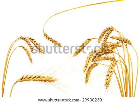 Collection of wheat ears, isolated