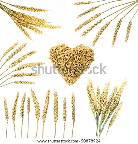 Collection of wheat ears  isolated on white - stock photo