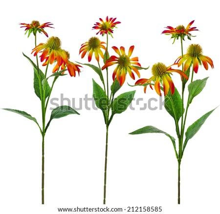 Collection set of Echinacea  Flower isolated on White Background - stock photo
