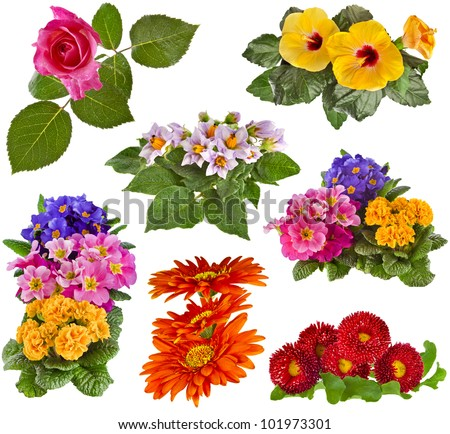 Collection set of Flowers Bouquet: Rose, Hibiscus, Potato, Primrose, Gerbera, Daisy close up isolated on white background  - stock photo