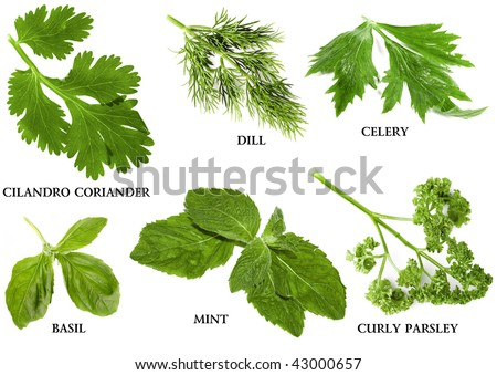 Collection set of fresh herbs and names, isolated on white background - stock photo