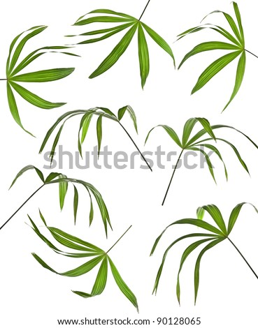 Collection set of  palm leaf isolated  on white background - stock photo