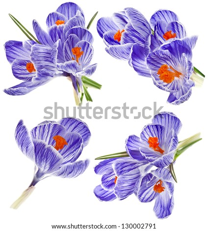 Collection set of purple crocus flower  isolated on white background - stock photo