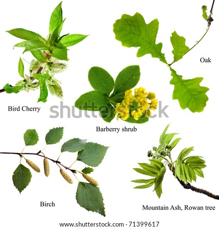 Collection set of spring tree branches : Bird Cherry, Barberry shrub, Oak, Birch, Mountain Ash Rowan,  Isolated on white background - stock photo