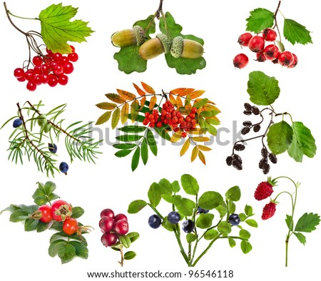 Collection set of wild forest berries plants fruits  isolated on white background - stock photo