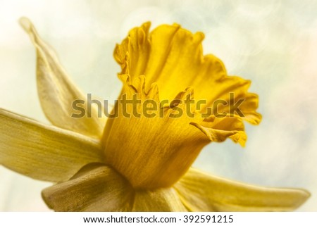 collection yellow narcissus flowers