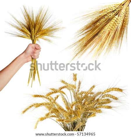 Collections of wheat ears  isolated on white - stock photo