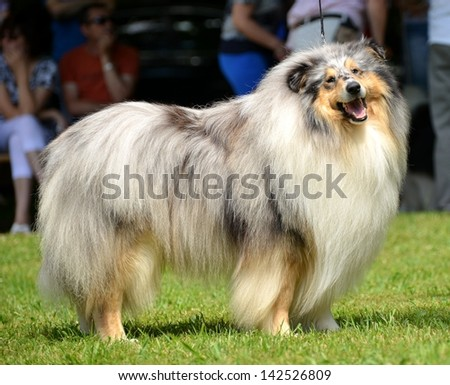 Collie dog - stock photo