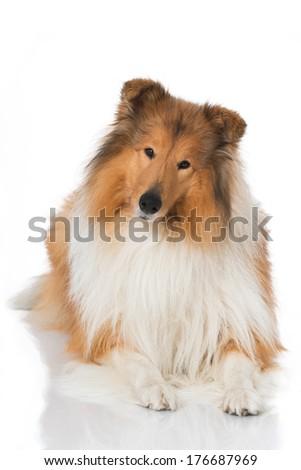 Collie dog isolated on white - stock photo