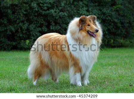 collie dog on the grass - stock photo