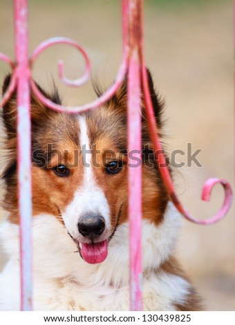 Collie dog smiling with tip of pink tongue showing