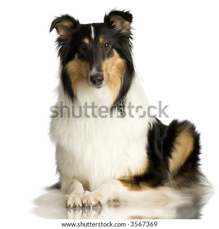 Collie in front of a white background and facing at the camera - stock photo