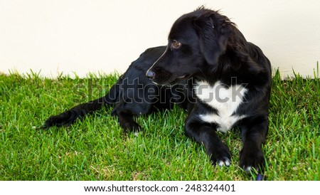 Collie-like dog resting on the green grass - stock photo