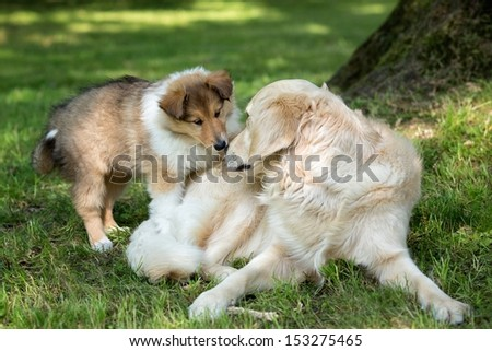 Collie puppy playing with a golden retriever - stock photo