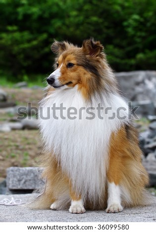 Collie puppy seating - stock photo