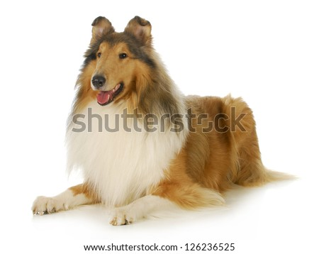 collie - rough coated collie laying down with tongue out panting isolated on white background - stock photo