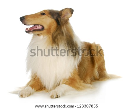 collie - rough collie laying down with reflection on white background