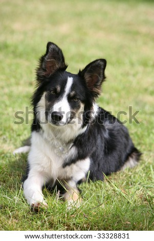 Collie Sheepdog puppy