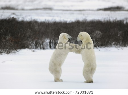 Collision. Two polar bears fight, having got up on hinder legs. - stock photo
