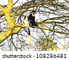 Colobus monkey in  Africa - stock photo
