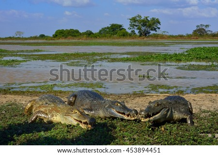 Colombia llanos three caimans on the shore of a pond