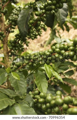 Colombian coffee plantation in the Andean valleys. Quimbaya, Quindio, Colombia. Triangle coffee. Zone of high quality coffee. - stock photo