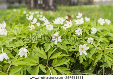 Colonial growth Anemone nemorosa (Wood anemone, windflower, thimbleweed, smell fox, Anemonoides nemorosa)  - stock photo