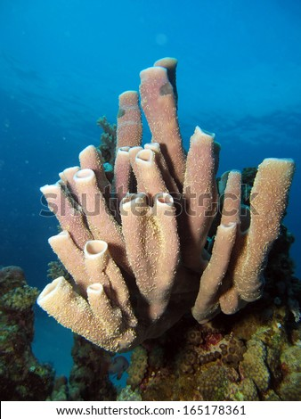 Colonial tube sponge - stock photo