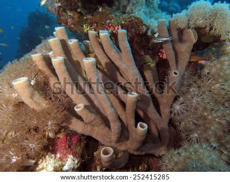 Colonial tube sponge on reef - stock photo