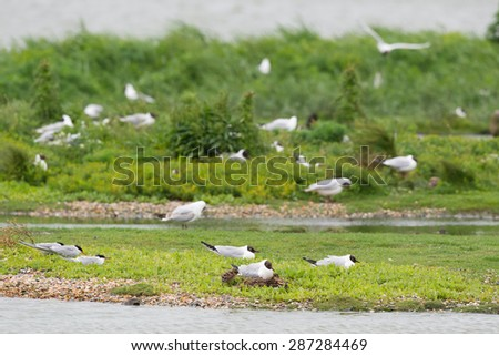 colony breeding black-headed seagulls with juvenile - stock photo