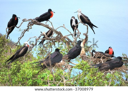Colony Fregata magnificens, Male magnificent frigate birds, with selected nesting sites and with throat pouch inflated. Isla Plata, Ecuador. - stock photo