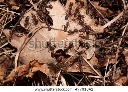 colony of ants in the dry brown leaves - stock photo
