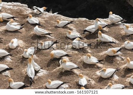colony of Australasian Gannets - stock photo