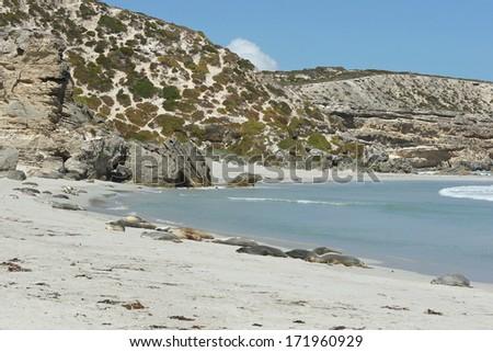 Colony of Australian Sea Lions on Seal Bay, Kangaroo Island, Australia - stock photo