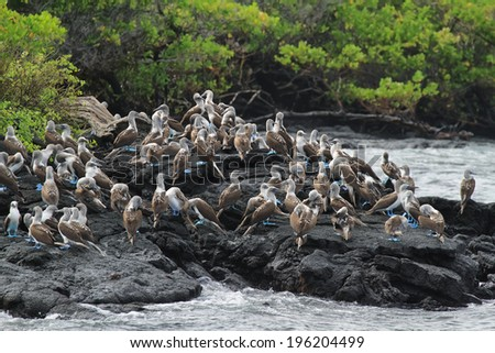 Colony of blue footed boobies in Isabela island, ecuador - stock photo