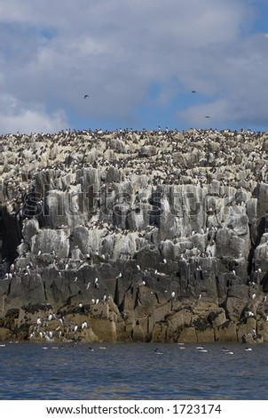 Colony of breeding seabirds on cliffs, Farne Islands, late May, UK.