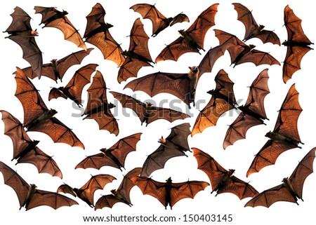 Colony of flying fox fruit bats in sky - stock photo