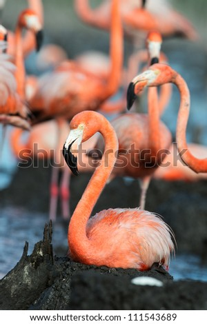 Colony of Great Flamingo. Flamingo (Phoenicopterus ruber)  on the nest. Rio Maximo, Camaguey, Cuba.