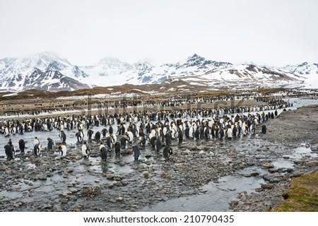 Colony of King Penguin, Antarctica - stock photo