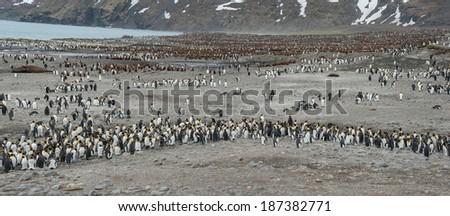 Colony of King penguin, South Georgia, Antarctica - stock photo