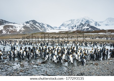 Colony of king penguins in South Georgia, Antarctica - stock photo