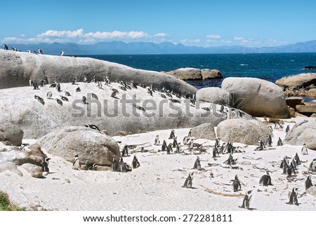 Colony of little penguins on beach. Shot in the Boulders Beach Nature Reserve, near Cape Town, Western Cape, South Africa.  - stock photo