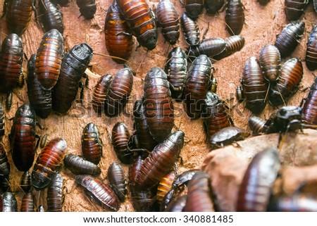 Colony of Madagascar hissing cockroaches (Gromphadorhina portentosa) - stock photo