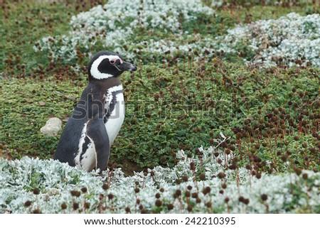 Colony of Magellanic Penguins (Spheniscus magellanicus) at Seno Otway close to Punta Arenas in Patagonia, Chile - stock photo