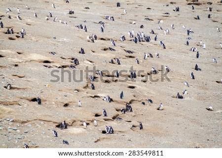 Colony of Magellanic Penguins (Spheniscus magellanicus) on Isla Magdalena in the Strait of Magellan, Chile. - stock photo