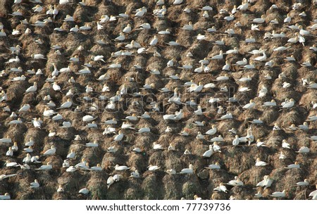 Colony of Northern Gannets in Brittany, France