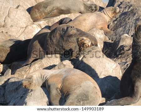 Colony of Patagonian sea lions looking to the camera - stock photo