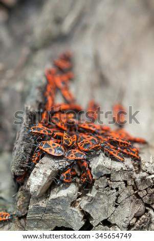 Colony of pyrrhocoris apterus. The firebug is a common insect of the family Pyrrhocoridae. - stock photo