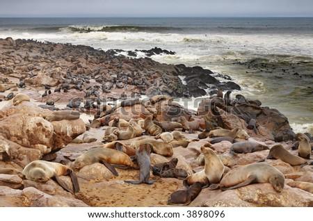 Colony of seals - stock photo