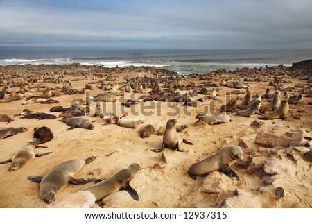 Colony of seals, Atlantic coast, Namibia - stock photo
